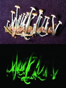 Mycena luxaeterna - Luzes na mata atlântica