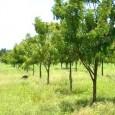 Produtos derivados da árvore de origem indiana Nim ganham mercado como modelo de controle biológico em projetos paisagísticos e jardinagem residencial  A preferência pelo controle biológico de pragas em […]