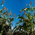 O sorgo sacarino poderá permitir que as usinas tenham redução de 30 a 60 dias na entressafra do biocombustível  Híbrido da Monsanto poderia render até 60 litros de etanol […]
