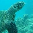 O Centro de Recuperação de Animais Marinhos (Cram), do Museu Oceanográfico da Furg, está tratando 32 tartarugas marinhas, levadas para o local nas últimas três semanas. Só na terça-feira, chegaram […]
