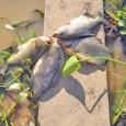 Para descobrir como animais e plantas vão se virar diante do desafio do aquecimento global, cientistas do Inpa (Instituto Nacional de Pesquisas da Amazônia) vão recriar artificialmente o ambiente aquático […]