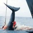 Discussão do Santuário do Atlântico Sul é adiada mais uma vez, agora para 2012 A Comissão Internacional da Baleia (CIB) encerra a reunião deste ano sem votar a proposta brasileira […]