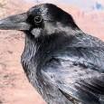 corvus brachyrhynchos Os corvos são animais mais espertos do que parecem. Eles não só são capazes de identificar o rosto de uma pessoa que possa representar perigo, como também […]