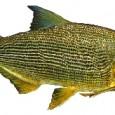 Pesquisa com duas espécies de grandes bagres da Amazônia conclui que os peixes constituem uma só população e podem cruzar entre si,e não somente com os que nascem em um […]