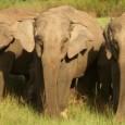 Estrutura de manadas pode até variar ao longo do tempo, mas antigas 'amizades' são mantidas e vitais em tempos difíceis Elefantas são conhecidas por sua extraordinária memória em relação a […]