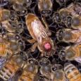 Abelha- operária Aumente sua vida em dez vezes e sua capacidade reprodutiva em cem vezes. É isso que vai ocorrer se você for alimentado durante a infância com royalactin, um […]