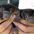 O aquecimento climático poderá diminuir em um terço as zonas habitadas pelo ornitorrinco na Austrália, que poderá desaparecer, alertaram nesta sexta-feira os investigadores.Este mamífero semiaquático e de hábitos noturnos, que […]
