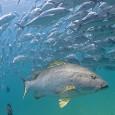 Uma reserva marinha na costa oeste do México conseguiu quase quintuplicar seu número de peixes em dez anos, mostra um estudo de várias instituições sob a coordenação do Instituto Scripps […]