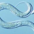 A técnica poderia dar aos biólogos controle total sobre as moléculas em organismos vivos Pesquisadores da Universidade de Cambridge (Grã-Bretanha) criaram o que alegam ser o primeiro animal com informação […]