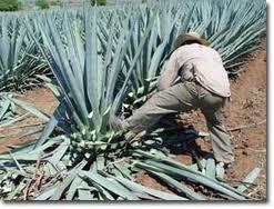 Blue Agave Tequila Plant Planta usada para faze...