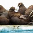 Derretimento do gelo força migração de animais marinhos para terra. Fenômeno pode causar mortes de exemplares, diz agência norte-americana. Grandes rebanhos de morsas começaram a se reunir na costa do […]