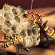 Um estudo feito por cientistas da Universidade de Sussex, na Escócia, com vespas papeleiras(Polistes dominulus)explica qual a vantagem que os insetos têm em trabalhar em equipe. Os resultados da pesquisa […]