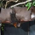 Os morcegos frugívoros (alimentam-se de frutas) emitem estalidos com a língua que os ajudam a navegar até os alimentos. O estalido produz ondas sonoras em forma de leque, que retrocedem […]