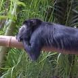 O macaco-bugio (Alouatta clamitans) tem um gogó de fazer inveja. Seu gritopotentepode ser ouvido a cerca de cinco quilômetros de distância. O som que emite, uma das características mais famosas […]