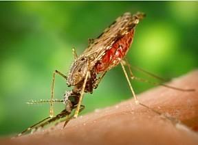 Mosquito que carrega o 'Plasmodium falciparum'