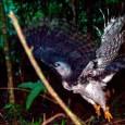 Graças a iniciativa do ICMBio, Vale e Inpa, gavião ameaçado de extinção ganha a liberdade na Floresta Nacional de Carajás, no Pará Depois de dois anos e meio vivendo em […]