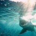 O governo das Ilhas Marshall criou o maior santuário de tubarões no mundo, uma área oceânica de quase 2 milhões de quilômetros quadrados. A república situada no Oceano Pacífico irá […]