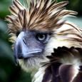 Pássaro já havia sido curado de ferimentos em 2010 e devolvido à natureza por agentes de proteção Uma das poucas águias-das-filipinas que restam no mundo foi morta por caçadores, informou […]