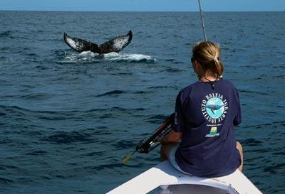 A baleia jubarte (Megaptera novaeangliae), também chamada baleia corcunda ou preta, pertence a família Balaenopteridae e é conhecida por seu temperamento dócil, pelas acrobacias que realiza (saltos, exposição de cabeça e nadadeiras, etc.) e por um desenvolvido sistema de vocalização.  Uma característica marcante da espécie são as nadadeiras peitorais extremamente longas, que atingem quase 1/3 do comprimento total do corpo. As fêmeas, um pouco maiores que os machos, podem alcançar 16 m de comprimento e pesar 40 toneladas. Quando em fuga deslocam-se a velocidades de até 27 km/h.  As jubartes realizam migrações sazonais entre áreas de alimentação em altas latitudes, e área de reprodução e cria em regiões tropicais.  No Atlântico Sul Ocidental, a principal área de reprodução desta espécie é o Banco dos Abrolhos, no litoral sul da Bahia. Nos meses de julho a novembro, estas baleias procuram as águas quentes, tranquilas e pouco profundas de Abrolhos para acasalar e dar à luz a um único filhote, que nasce após uma gestação de aproximadamente 11 meses.  A caça indiscriminada reduziu drasticamente quase todas as populações de baleias do planeta. As baleias jubarte, cuja população mundial antes da caça era cerca de 150.000 indivíduos, hoje está estimada em quase 25.000 baleias distribuídas em todos os oceanos. Elas se encontram na Lista Ofícial de Espécies Ameaçadas de Extinção do IBAMA. Foto :