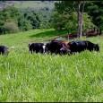 Segundo João Gilberto Bento, da ABCZ, a campanha tem foco no plantio de espécies de árvores nativas e, a princípio, não está vinculada ao sistema de integração pecuária-floresta, ou silvipastoril. […]