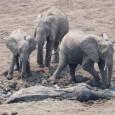 Fotos tiradas por um guia de safári no Zâmbia mostram o dramático resgate de uma elefanta e seu filhote presos na lama da lagoa Kapani, na […]