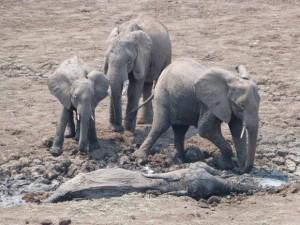 Fotos tiradas por um guia de safári no Zâmbia mostram o dramático resgate de uma elefanta e seu filhote presos na lama da lagoa Kapani, na região de South Luangwa Abraham Banda / Norman Carr Safaris