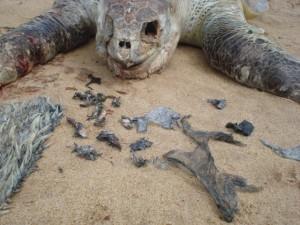 Morte de baleias e tartarugas em SC preocupa cientistas