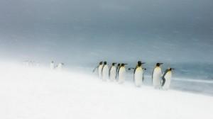 'Pinguins-rei em tempestade de neve' recebeu menção honrosa na categoria 'Aves' GDT EWPY 2011/Ole Jørgen Liodden