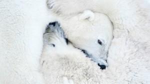 Na categoria 'Mamíferos', esta fotografia de ursos polares recebeu menção honrosa GDT EWPY 2011/Daisy Gilardini