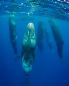 O segundo lugar na categoria 'Mamíferos' ficou com a imagem 'Baleias dormindo' GDT EWPY 2011/Magnus Lundgren