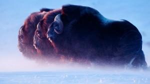 A vencedora na categoria 'Mamíferos' foi a fotografia 'Lordes do Ártico' GDT EWPY 2011/ Florian Schulz
