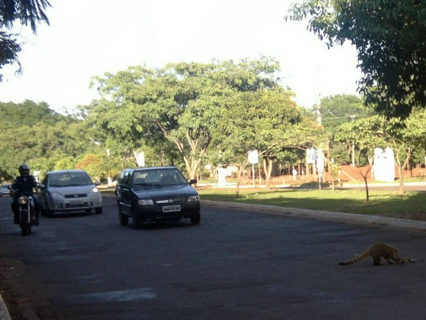 Quati cruza rua para resgatar filhote atropelado... (Foto: Divulgação/Marcelo Silva de Oliveira)