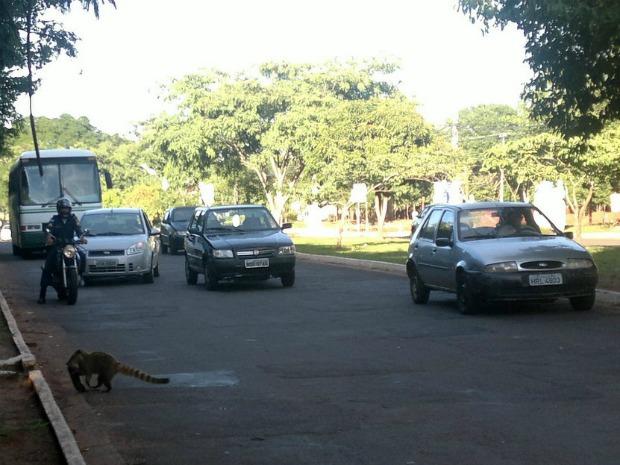 ...abocanha-o sob a atenção de alguns motoristas... (Foto: Divulgação/Marcelo Silva de Oliveira)