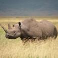 Você já viu um rinoceronte-negro-ocidental em vida livre? Se não, perdeu a chance. O bicho, chamado pelos cientistas de Diceros bicornis longipes, foi declarado oficialmente extinto na mais recente atualização […]