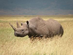 O destemido Rinoceronte-negro-ocidental (Diceros Bicornis) era o 4º maior mamífero africano. Tinha 1.500 kg e media 1,60 de altura. Mas não foi páreo para o predador homem. Foto: Dr. Richard Emslie