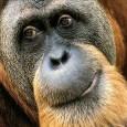 Especialistas questionaram nesta segunda-feira uma pesquisa feita na ilha indonésia de Bornéu, que contabiliza em 750 o número de orangotangos mortos no país em 2010, embora admitiram que a conta […]