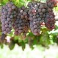 Pesquisas dizem que, na dose certa, vinho tinto reduz colesterol e pressão Nenhuma bebida recebe tanta atenção de cientistas quanto o vinho. Composto de cerca de 400 substâncias, a cada […]