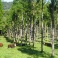 O experimento Roda de Nelder, desenvolvido pela Embrapa Gado de Corte na Fazenda Nova Brilhante, sede da Ramires Reflorestamentos em Ribas do Rio Pardo (MS), foi a Estação IV do […]