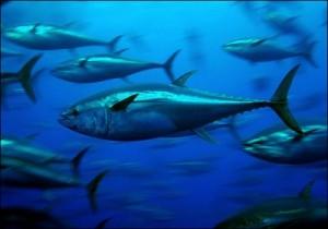Dois novos estudos indicam que grandes concentrações de CO2, que aumentam a acidificação nos mares, prejudicam a taxa de crescimento e elevam a mortalidade dos alevinos, podendo por em risco algumas espécies de peixes