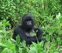 Imagem: Mudanças climáticas impõem ameaças adicionais aos gorilas das montanhas / FAO