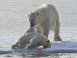 Urso polar macho carrega carcaça de filhote morto: canibalismo estaria aumentando em razão do aquecimento global