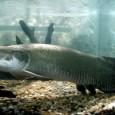 O pirarucu, um dos maiores peixes de rio do país, já pode ser criado em cativeiro no estado de Rondônia. Um acordo nesse sentido foi assinado ontem (21) entre o […]
