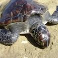 Cientistas percorrem 350 km de costa para investigar causa; laudo deve ser divulgado em breve Subiu para 108 o número de animais marinhos encontrados mortos na costa catarinense. De acordo […]