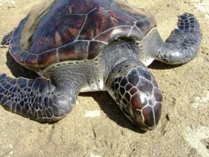 Número de animais encontrados mortos no litoral de SC sobe para 108