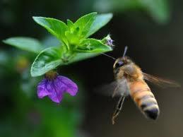 Descoberto um parasita da mosca que transforma as abelhas em zumbis