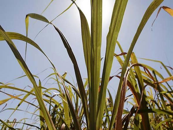 Plantação de cana-de-açúcar: entre 2010 e 2014, Petrobras planeja elevar em 193% a produção de etanol