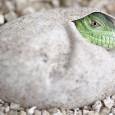 Depois de 11 anos de espera, dois filhotes das raras iguanas-das-antilhas-menores nasceram em cativeiro na ilha de Jersey, território autônomo britânico, anunciou a ONG Durrell Wildlife Conservation Trust. A organização […]