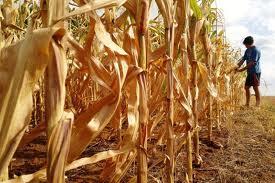 Lavouras de milho, soja e feijão são as mais prejudicadas pela seca na Região Sul