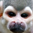 Pesquisadores da UCLA (Universidade da Califórnia), em Los Angeles, analisaram 129 caras de macacos da América Central e do Sul em busca de pistas sobre a evolução das espécies. Segundo […]