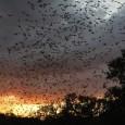 """Quase sete milhões de morcegos morreram na América do Norte desde 2006 devido a um fungo conhecido como """"Síndrome do nariz branco"""" (WNS, na sigla em inglês), indicaram autoridades ambientais […]"""